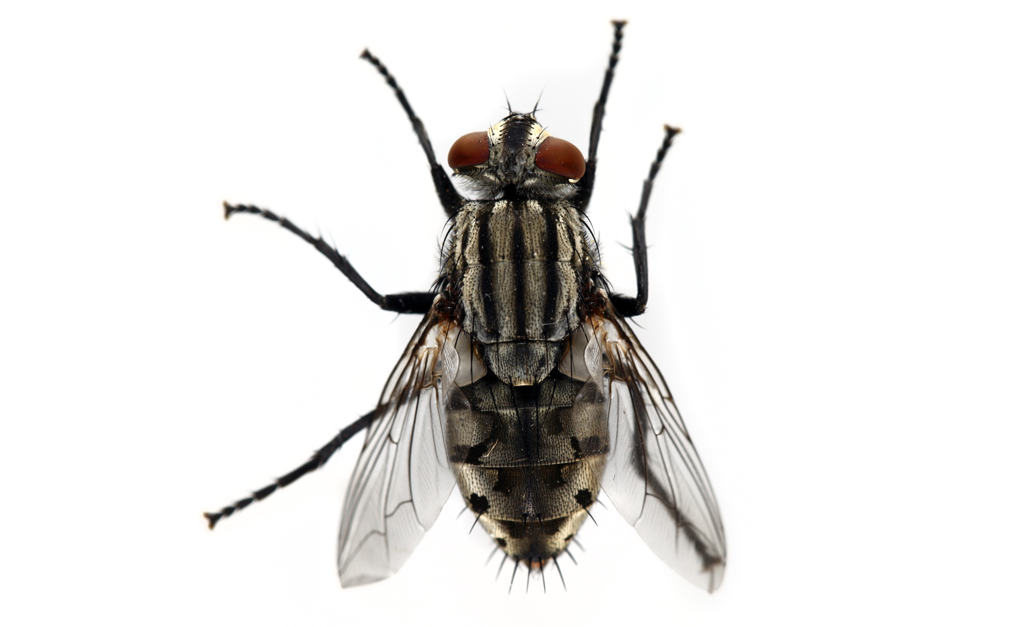 House Flies | Pest Control Services in London | Vermikil